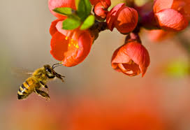 Bees are responsible for 70% of the fruit, vegetables, nuts and seeds we eat on a daily basis.  If bees became extinct, beef, dairy, corn, rice, coffee, cotton, entire food chains, animal species, and a large chunk of the economy would probably go down with them.