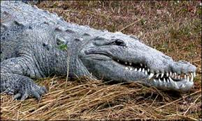 A crocodile can't poke its tongue out