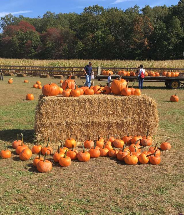 A pumpkin patch in New Egypt, New Jersey.