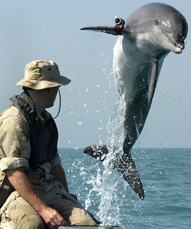 A trained bottlenose dolphin named K-Dog leaps out of the water during a training exercise in the Persian Gulf.