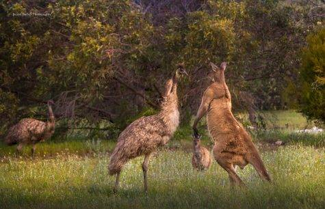The only two animals on planet Earth that cannot walk backwards are emus and kangaroos