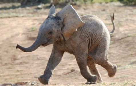 Elephants are the only mammals that cannot jump