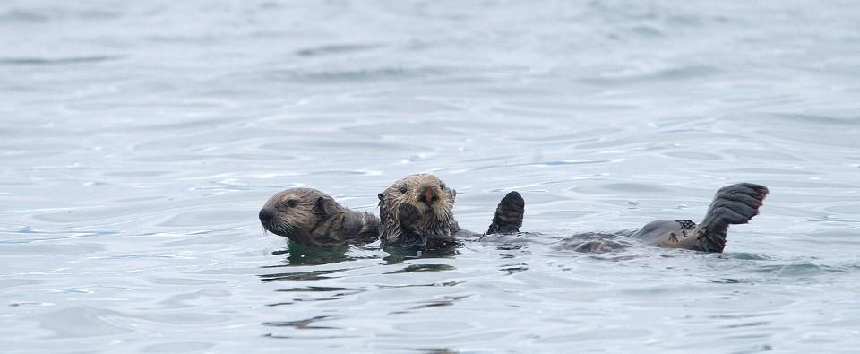 These sea otters are in Glacier Bay.