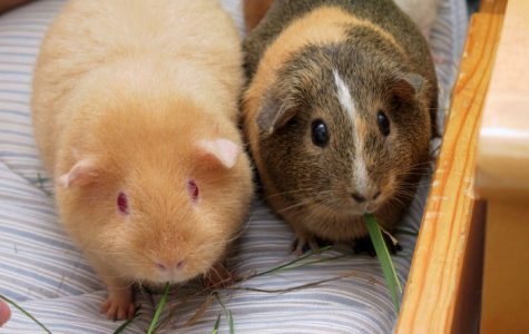 In Switzerland it is illegal to own just one guinea pig.