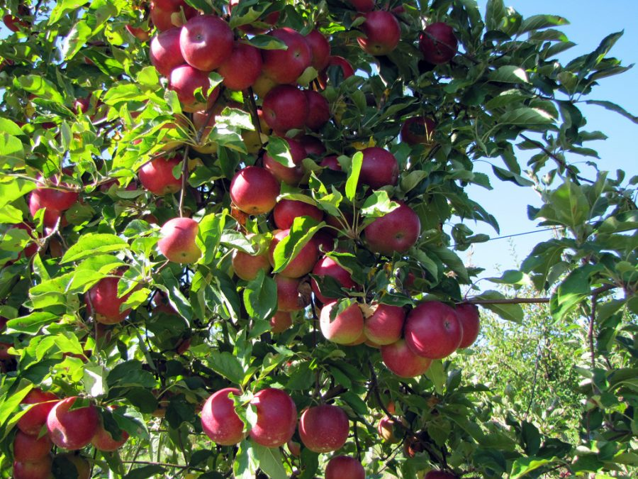 Many+apples+waiting+to+be+picked+from+the+tree%2C+a+fun+activity+for+all.+