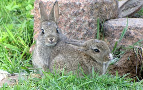 Young rabbits are called kits.