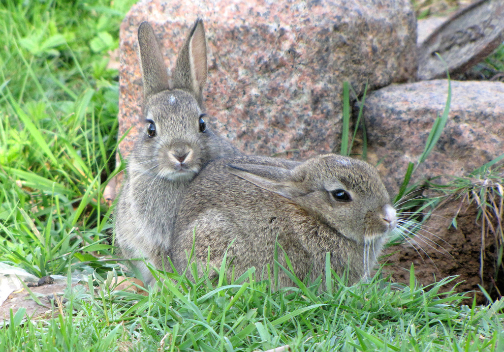 On average rabbits can have between 4 to 12 kits in a litter.
