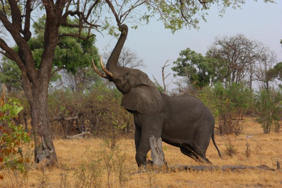 This African Bush Elephant can weight up to 12,000 pounds.