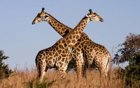 Giraffes fight with their necks.