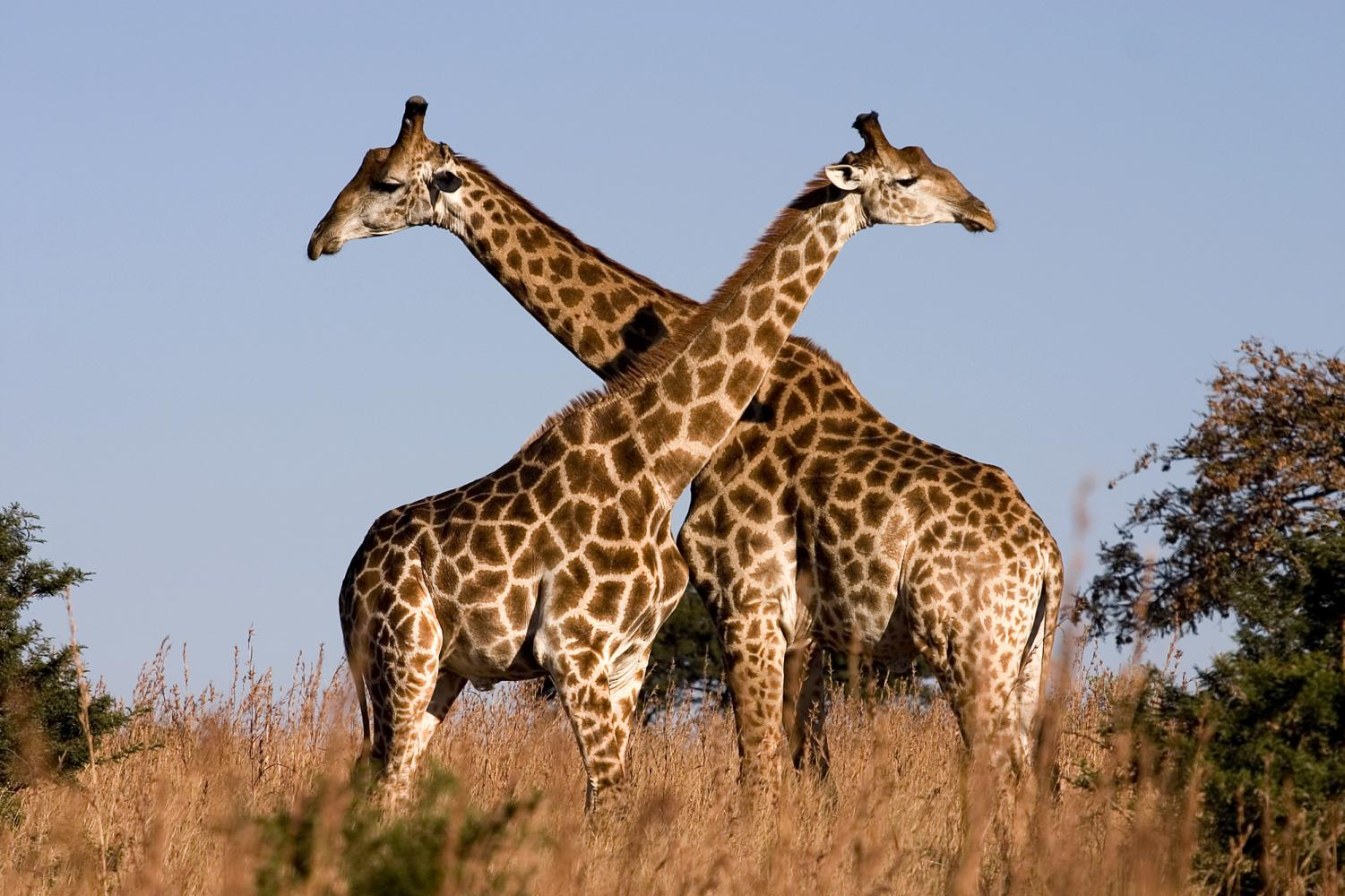 Giraffes are now endangered species.
