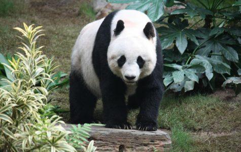 When born, baby pandas are smaller than a mouse.