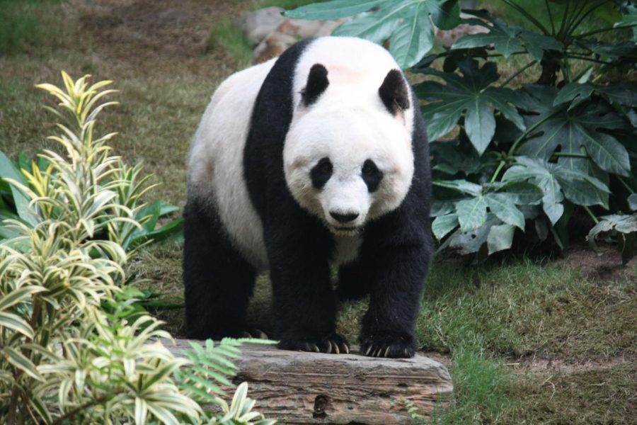 Pandas+are+starting+to+become+endangered.