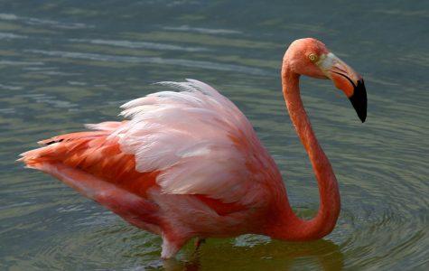 Flamingos turn pink from eating shrimp
