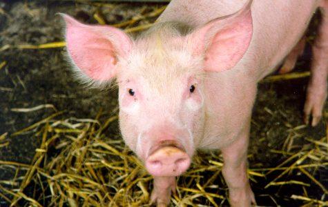 Pigs can get sunburn