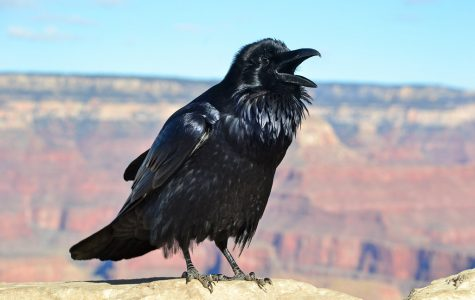Ravens can talk better than some Parrots