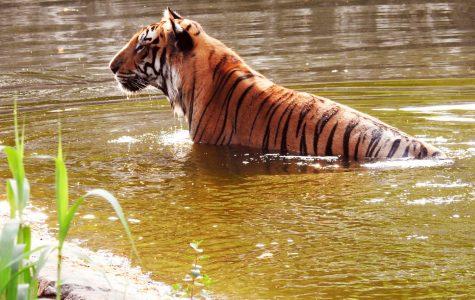 Siberian Tigers love to swim