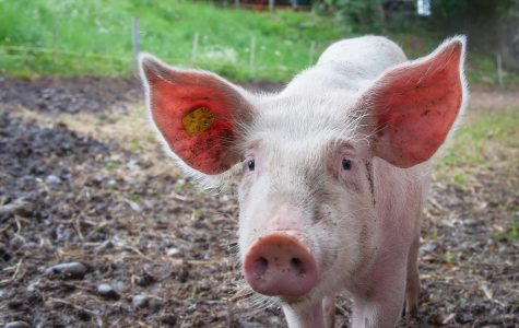 It is physically impossible for pigs to look up into the sky