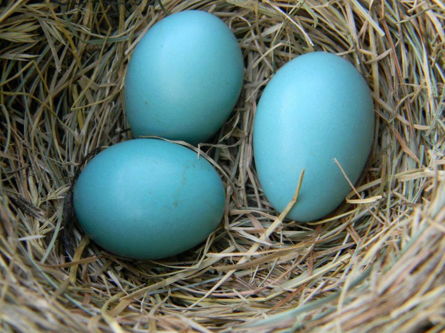Animal+eggs