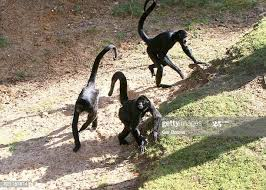 Many monkeys have long, prehensile tails which they use in swinging through the trees.