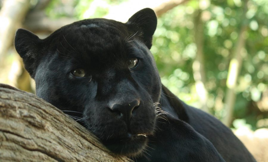 Pictured is a black panther resting on a tree branch. It has a color mutation.